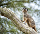 Meerkat on lookout on tree branch — Stock Photo