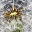 Stock Photo: Dandelion seed head taraxacum officinale