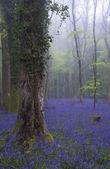 Vibrant bluebell carpet Spring forest foggy landscape — Stock Photo