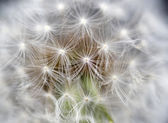 Dandelion seed head taraxacum officinale — Stock Photo