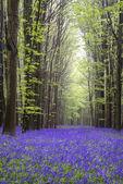 Vibrant bluebell carpet Spring forest landscape — Stock Photo