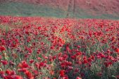 Stunning poppy field landscape — Stock Photo