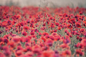 Poppy field landscape in Summer countryside sunrise with differe — Stock Photo
