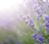 Beautiful lavender field with sun flare and shallow depth of fie — Stok fotoğraf