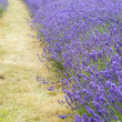 Lavender field landscape with differential focus technique givin — Stockfoto #28849519