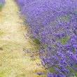 Lavender field landscape with differential focus technique givin — Stok fotoğraf