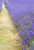 Lavendel fält landskap med differential fokus teknik gav upp — Stockfoto