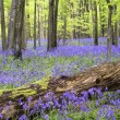 Vibrant bluebell carpet Spring forest landscape — Stock Photo #29298167