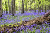 Vibrant bluebell carpet Spring forest landscape — Stock Photo