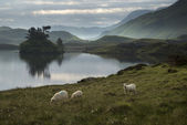 Sheep in field at sunrise landscape with mountains and lake in b — Stock Photo