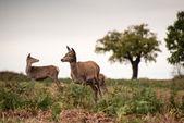 Red deer doet tijdens bronsttijd. — Stockfoto
