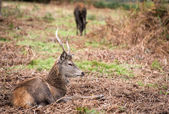 Red deer stag during rutting season in Autumn — Stock Photo