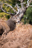 Red deer stag during rutting season in Autumn — Stok fotoğraf