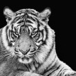 Portrait of Sumatran tiger in black and white — Stock Photo #40187443