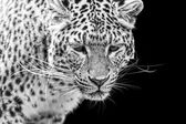 Portrait of Amur Leopard in black and white — Stock Photo