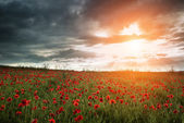 Beautiful poppy field landscape during sunset with dramatic sky — Stock Photo