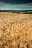 Stunning wheat field landscape under Summer stormy sunset sky — Stock Photo