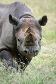 Black rhinoceros diceros bicornis michaeli in captivity — Stock Photo