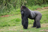 Captive endangered Western Lowland Gorilla — Stock Photo