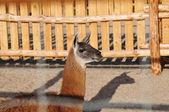 Lama in zoo — Stock Photo