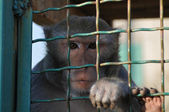 Macaque iron-barred — Stock Photo