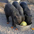 Tree black pigs — Stock Photo