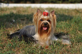 Retrato adorable yorkshire terrier — Foto de Stock