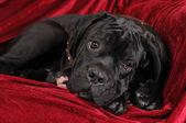 Cute cane corso puppy portrait — Stock Photo