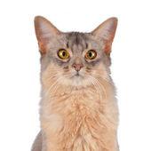Somali cat head portrait isolated on white — ストック写真