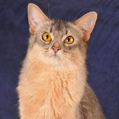 Square somali cat portrait — ストック写真