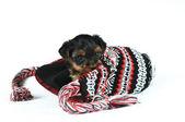 милый маленький щенок на колпачке, изолированные на белом фоне — Стоковое фото