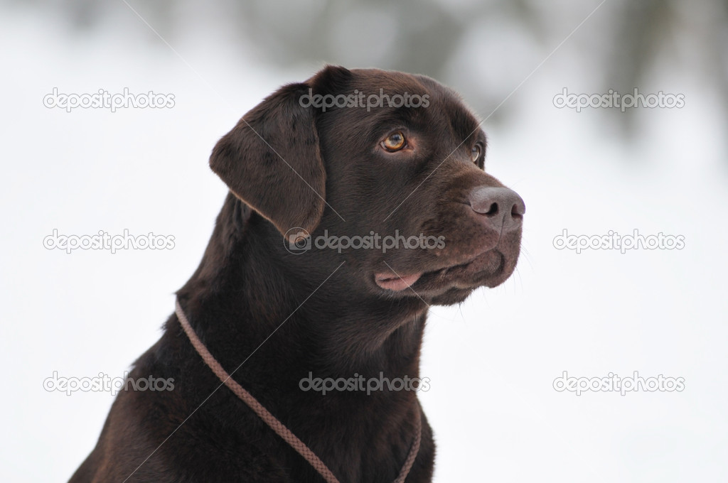 Картинки черного лабрадора зимой