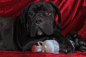Cane corso köpek yavrusu dikey, eski şişe — Stok fotoğraf