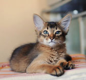 Somali kitten ruddy color — Foto de Stock