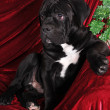 Black puppy cane corso portrait - Stock Photo