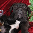 Black puppy cane corso portrait looking at camera - Stock Photo