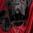 Cute cane corso puppy portrait — Stock Photo