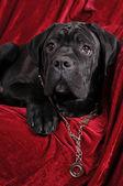 杖コルソ子犬肖像画 — ストック写真
