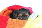 Little yorkshire puppy in scarf — Stock Photo