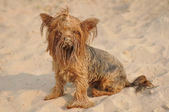 Funny yorkshire terrier portrait — Stock Photo