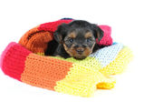 Cute yorkshire terrier puppy portrait inside a scarf — Stock Photo