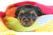 Cute yorkshire terrier puppy portrait inside a scarf closeup — Stock Photo