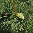 Branch of pine with two green cones — Stock Photo