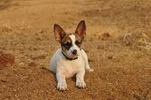 Little cute puppy portrait — 图库照片