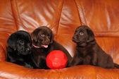 Drie puppies met voetbal bal — Stockfoto