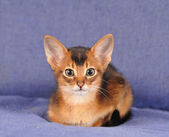 Abyssinian kitten portrait looking at camera — Stock Photo
