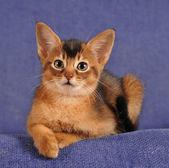 Abyssinian kitten liyng on sofa portrait  — Stock Photo