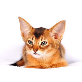 Abyssinian kitten ruddy color portrait — Stock Photo