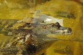 Crocodile portrait with turtles — Stock Photo