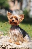 Retrato de yorkshire terrier — Foto de Stock